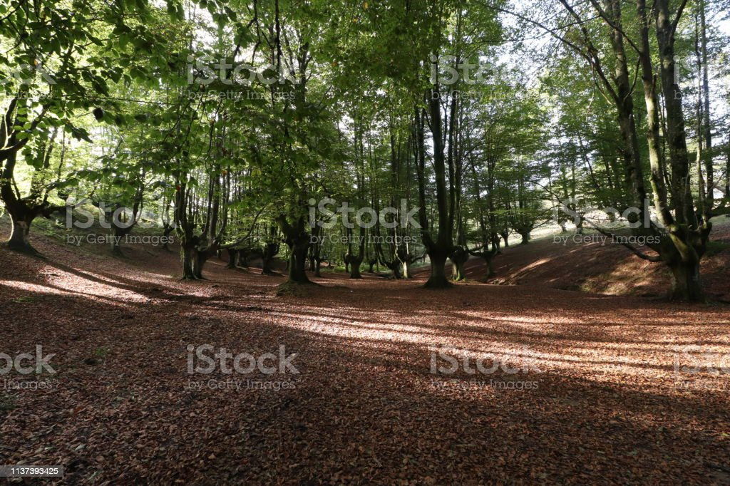 Beech of Otzarreta stock photo