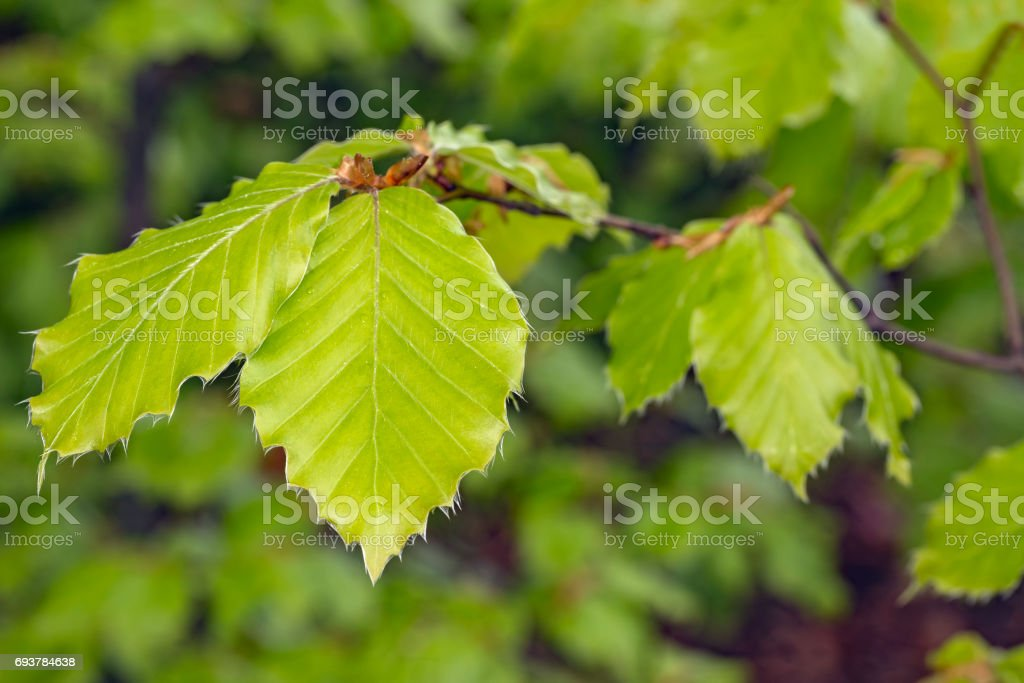 Beech spring leaves stock photo