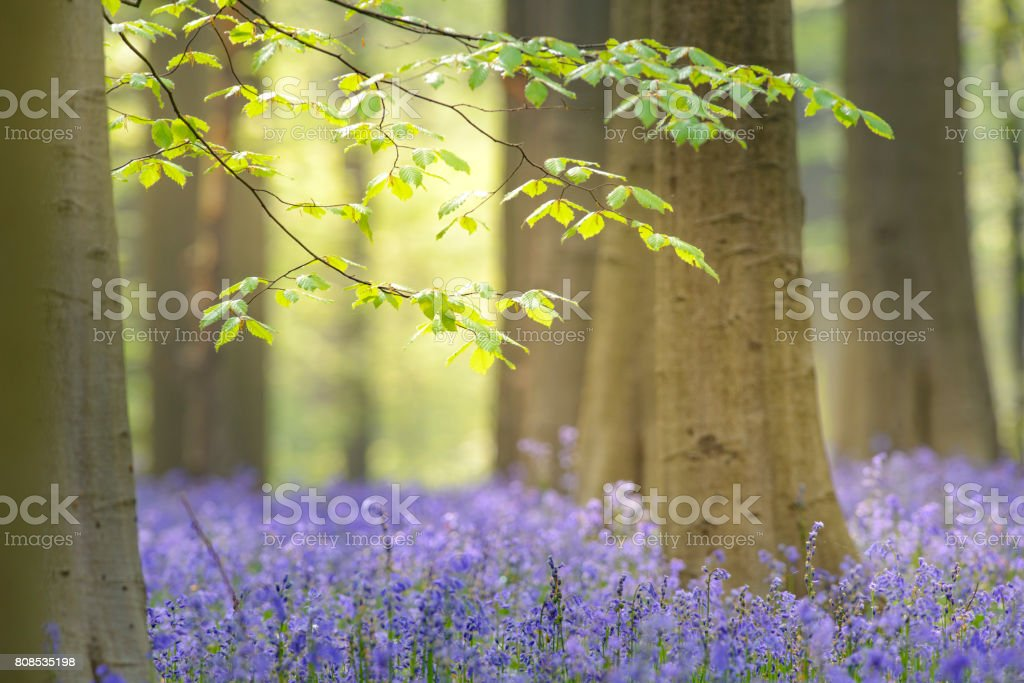 Beech tree and Bluebell flowers in a forest during spring stock photo