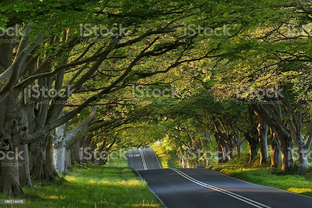 Beech tree avenue at Kingston Lacey, Dorset, UK stock photo