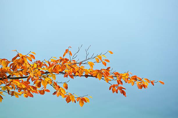 Árbol de haya branch en colores otoñales - foto de stock