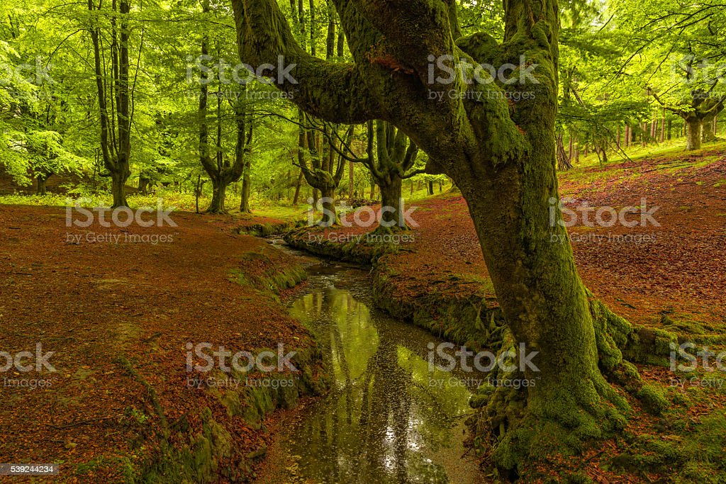 Beech tree forest, green spring leaves. Otzarreta, Basque Country, Spain royalty-free stock photo