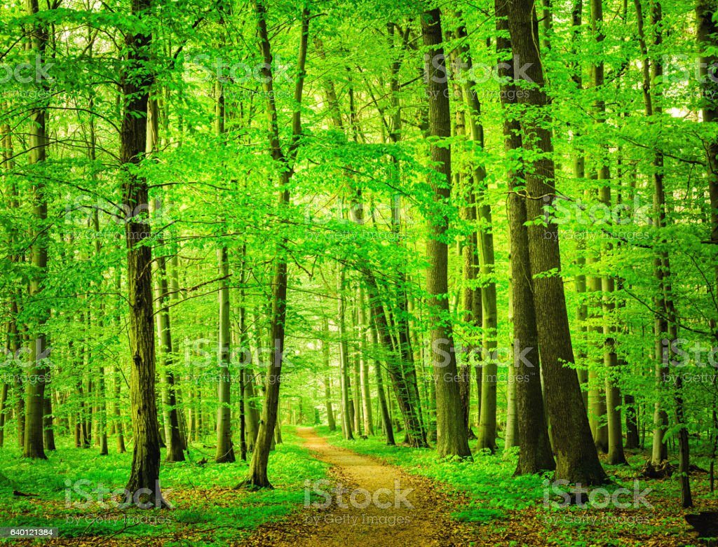 Beech Tree Forest Path stock photo
