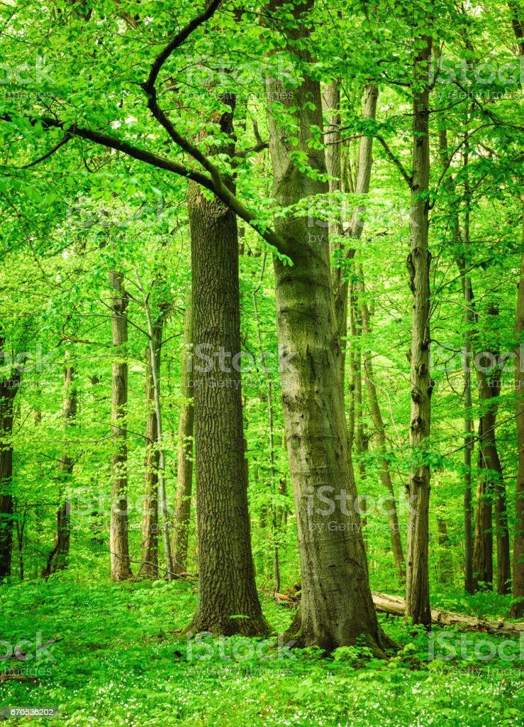 Beech Tree Forest - Lizenzfrei Ast - Pflanzenbestandteil Stock-Foto