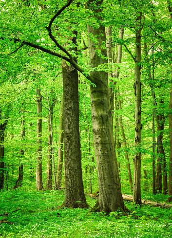 Beech Tree Forest Stockfoto und mehr Bilder von Ast - Pflanzenbestandteil