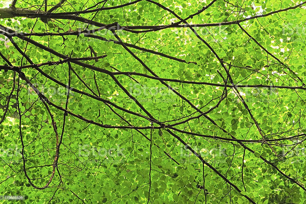 Beech tree from below royalty-free stock photo