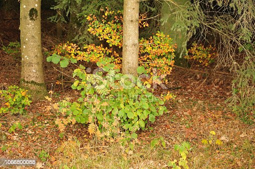 istock beech tree growing at spruce trunk 1066800088