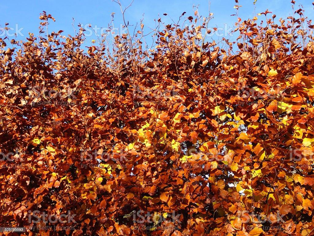 Buche Hecke Getrocknete Brown Herbst Blätterherbstfarben Stockfoto