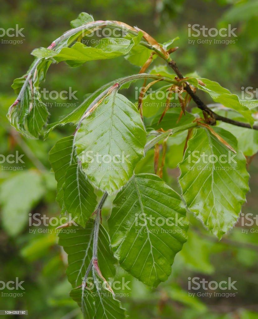 Beuken boom in het voorjaar (verse bladeren) foto