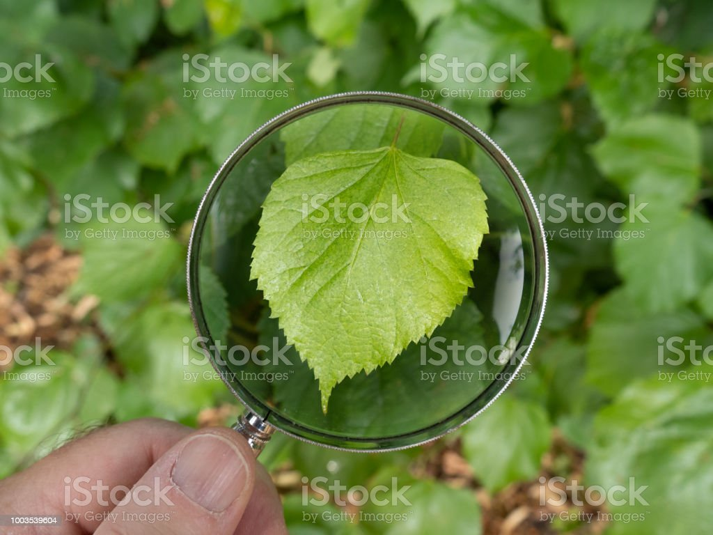 Beech tree leaf in Canon Hill Park. royalty-free stock photo