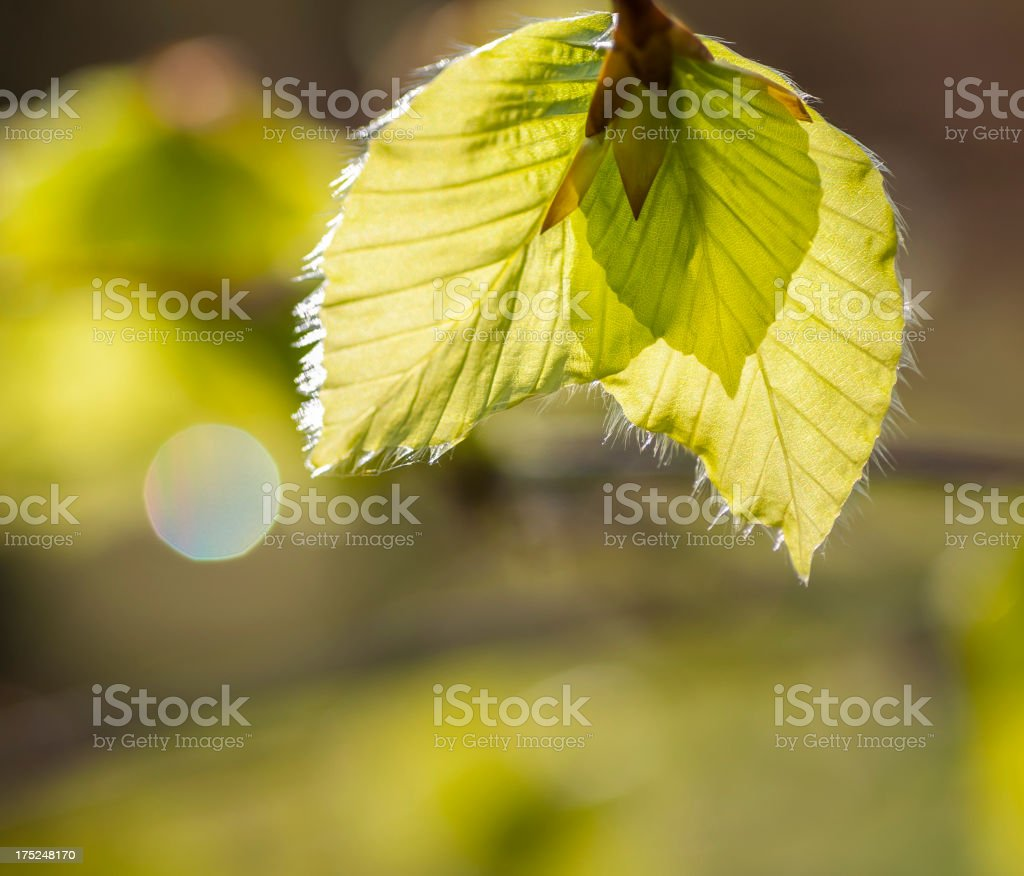 Beech tree leaves in spring royalty-free stock photo