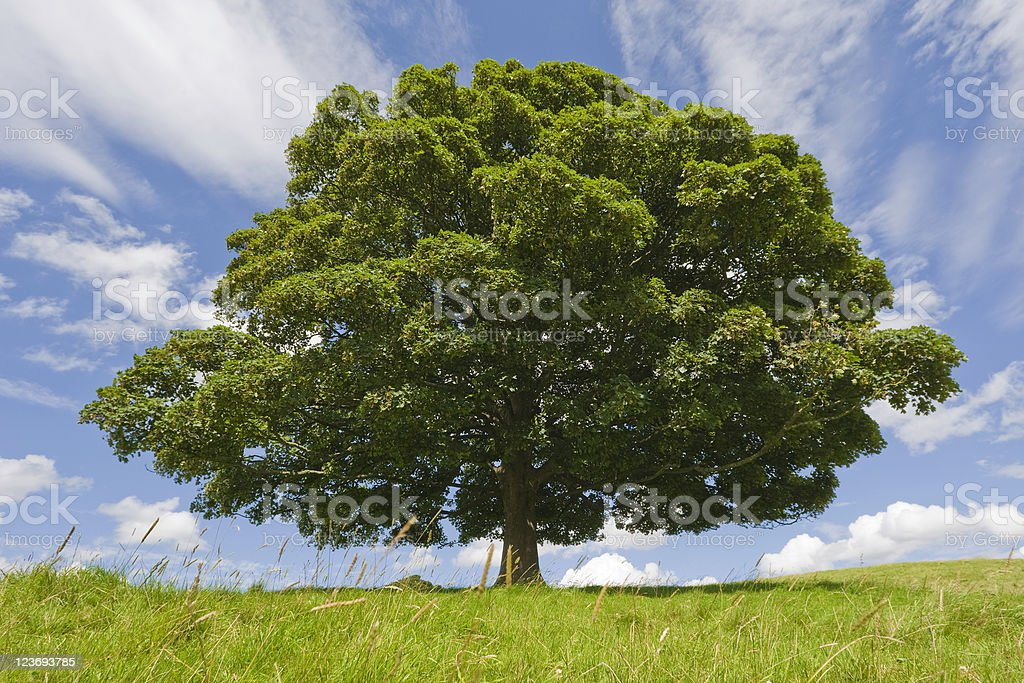 Beech Tree royalty-free stock photo