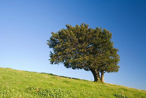 beech tree stock photo