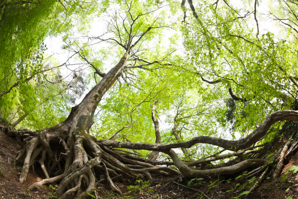 Beech Tree Roots in the Forest - foto stock