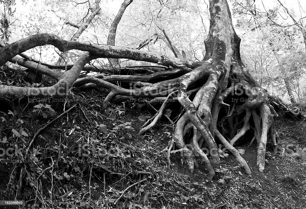 beech tree roots in a forest