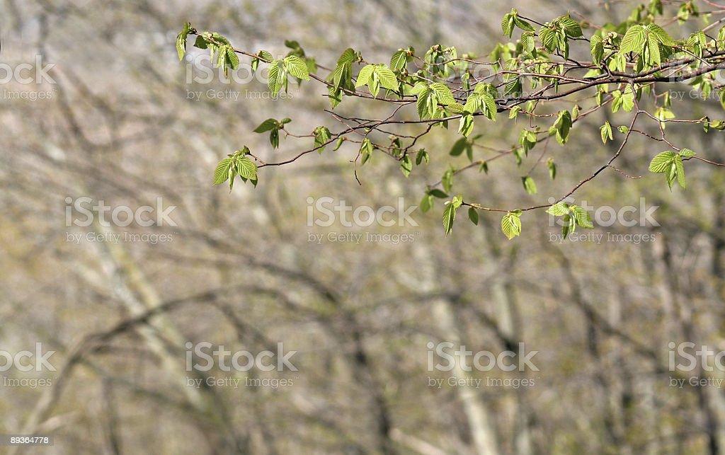 Beech Tree Spring Branch royalty-free stock photo