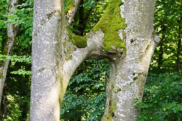 buche trunk conjoined, inosculation - siamesische zwillinge stock-fotos und bilder