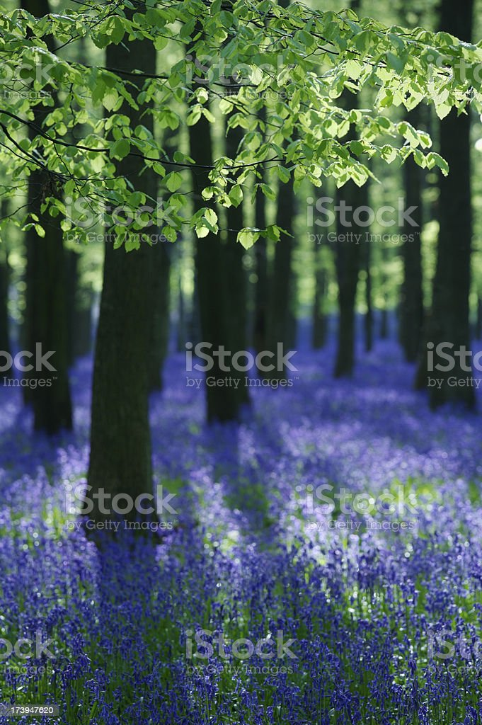 beech trees and blue bells late afternoon royalty-free stock photo