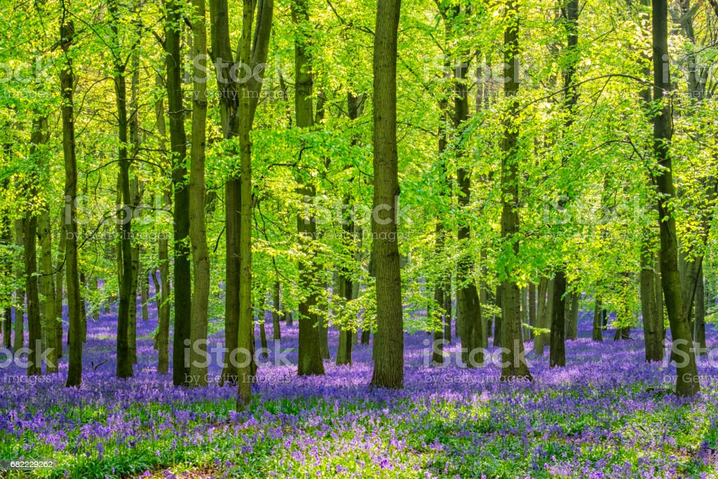 Beech Trees And Bluebells stock photo