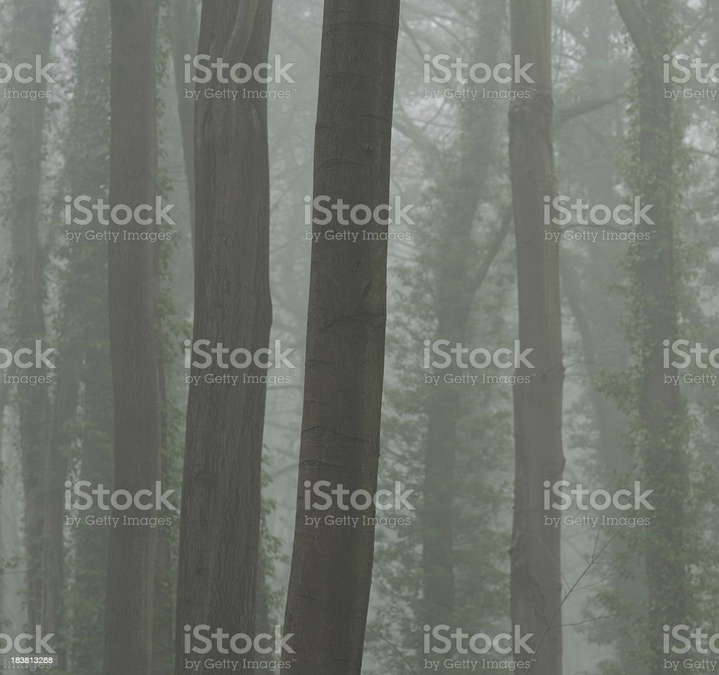 beech trees and fog royalty-free stock photo