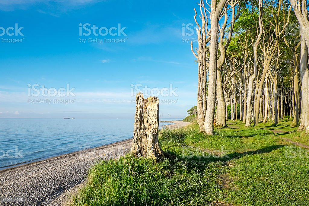 Beech trees at the Baltic Sea stock photo