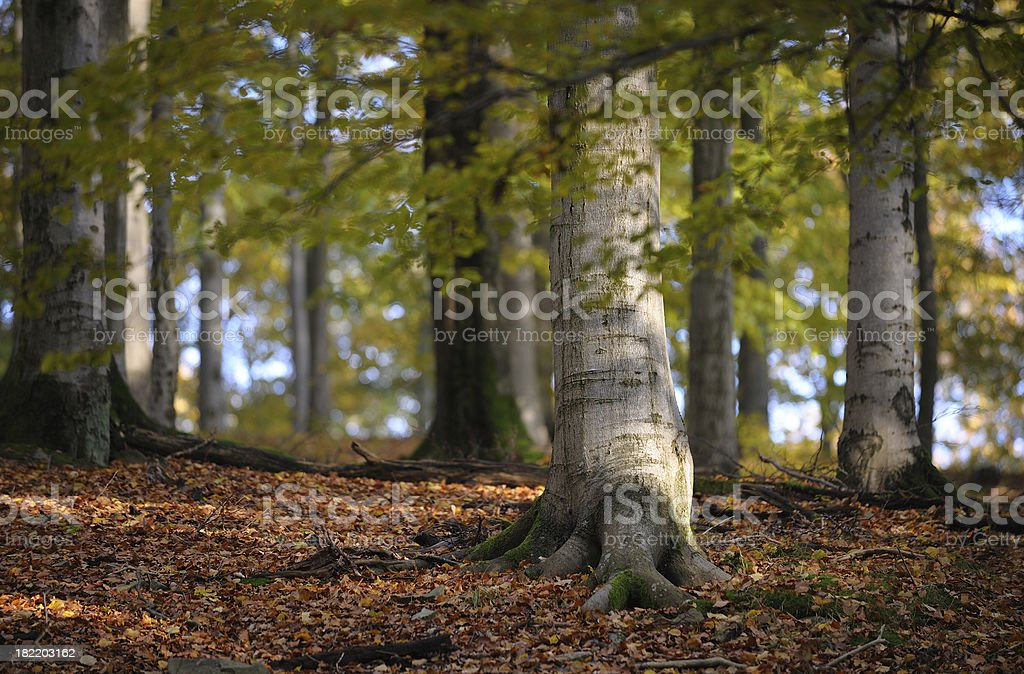 beech trees in autumn royalty-free stock photo