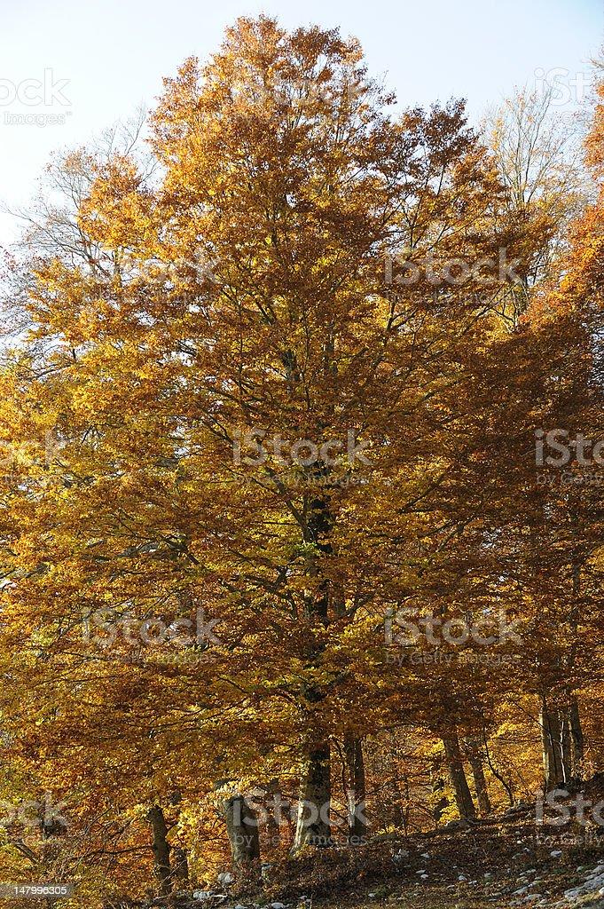 Beech trees in fall season royalty-free stock photo