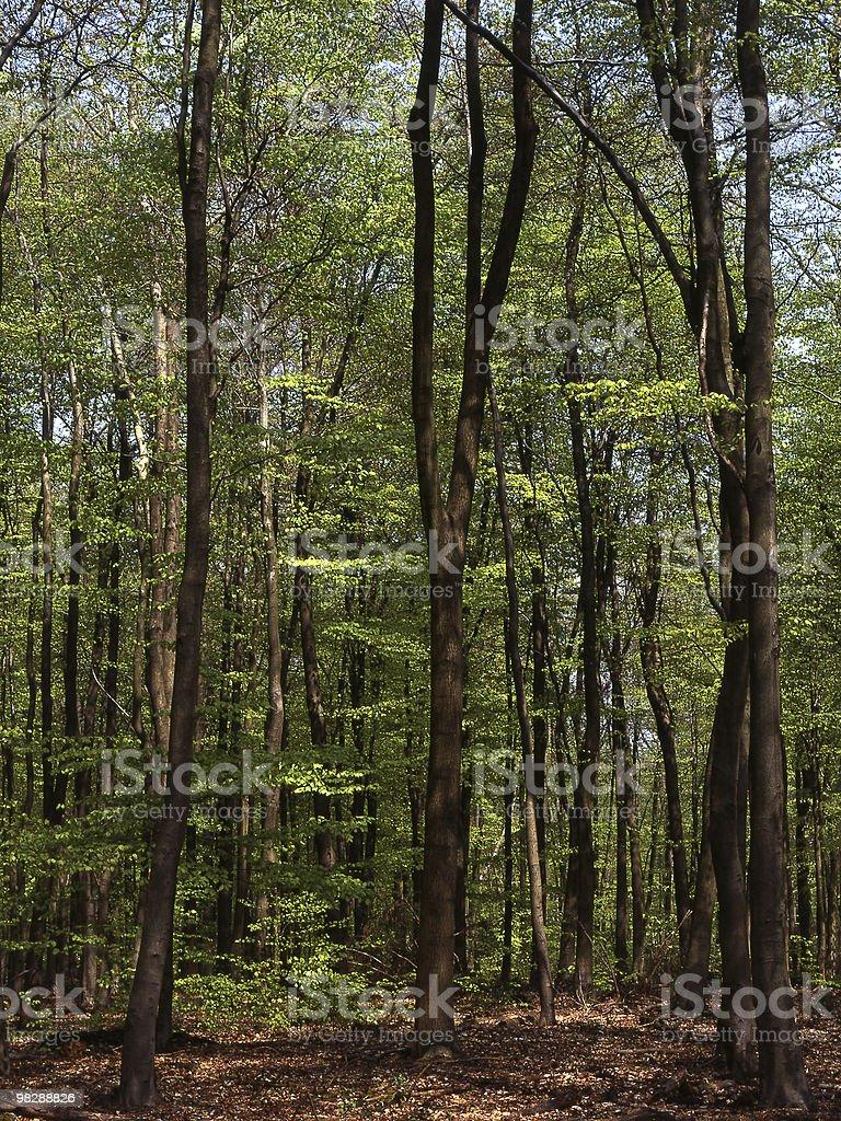 Beech trees in springtime (Fagus sylvatica) royalty-free stock photo