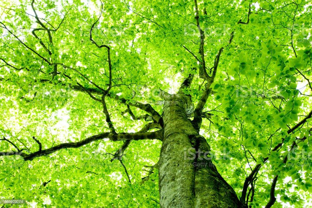 Beech trees foto stock royalty-free