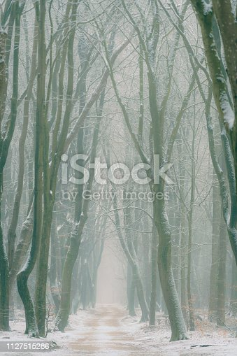 istock Beech trees with dramatic shapes in a misty and snowy forest during a cold snowy winter day 1127515286