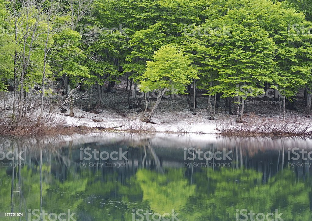 Beech trees with fresh green royalty-free stock photo