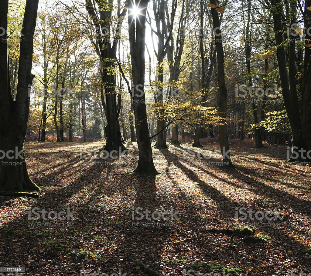 beech trees with sunbeam and rays of light stock photo