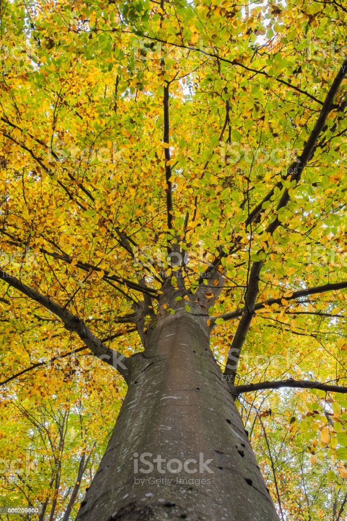 Beech treetop covered in yellow autumn leaves stock photo