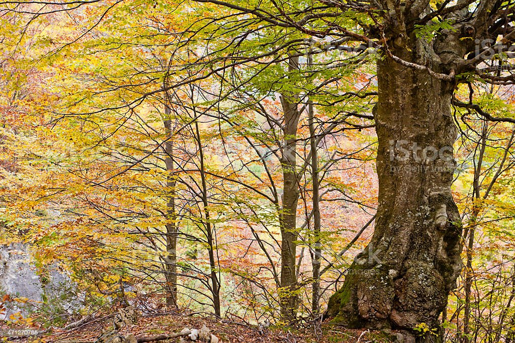 Beech Woods in Autumn, Monte Baldo royalty-free stock photo