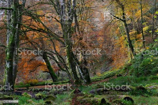 Photo of Beech woods in autumn