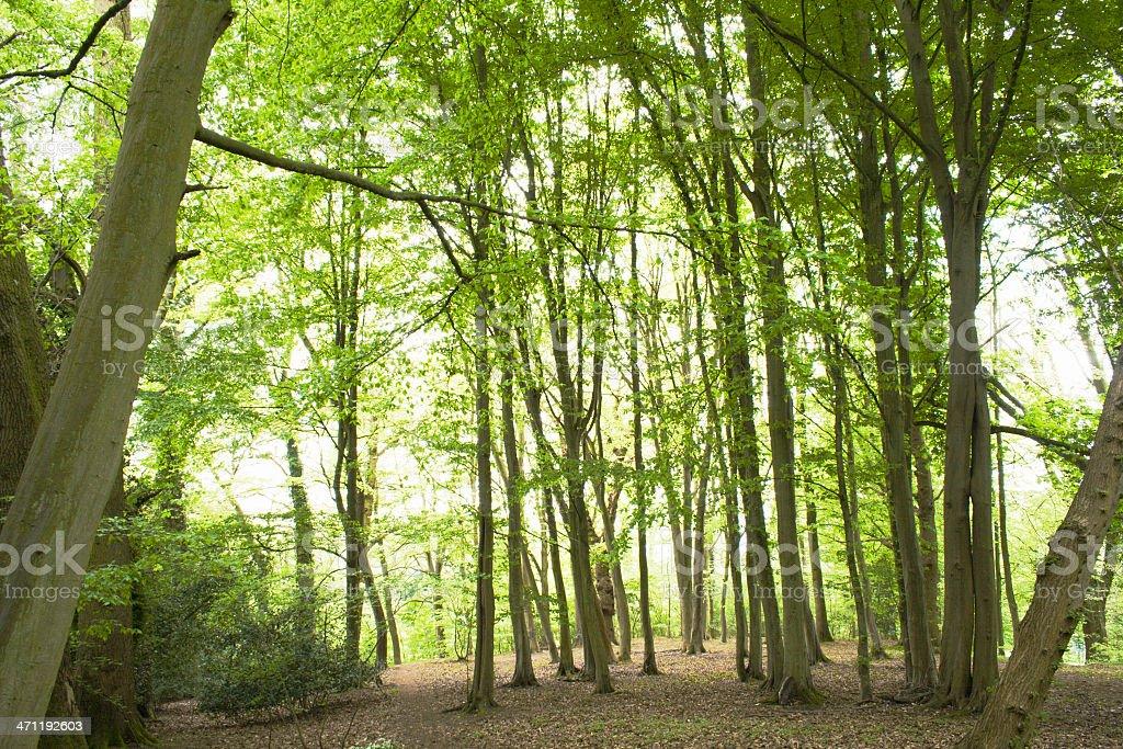 Beech Woods royalty-free stock photo