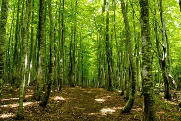 beech woods trail - forest bathing foto e immagini stock