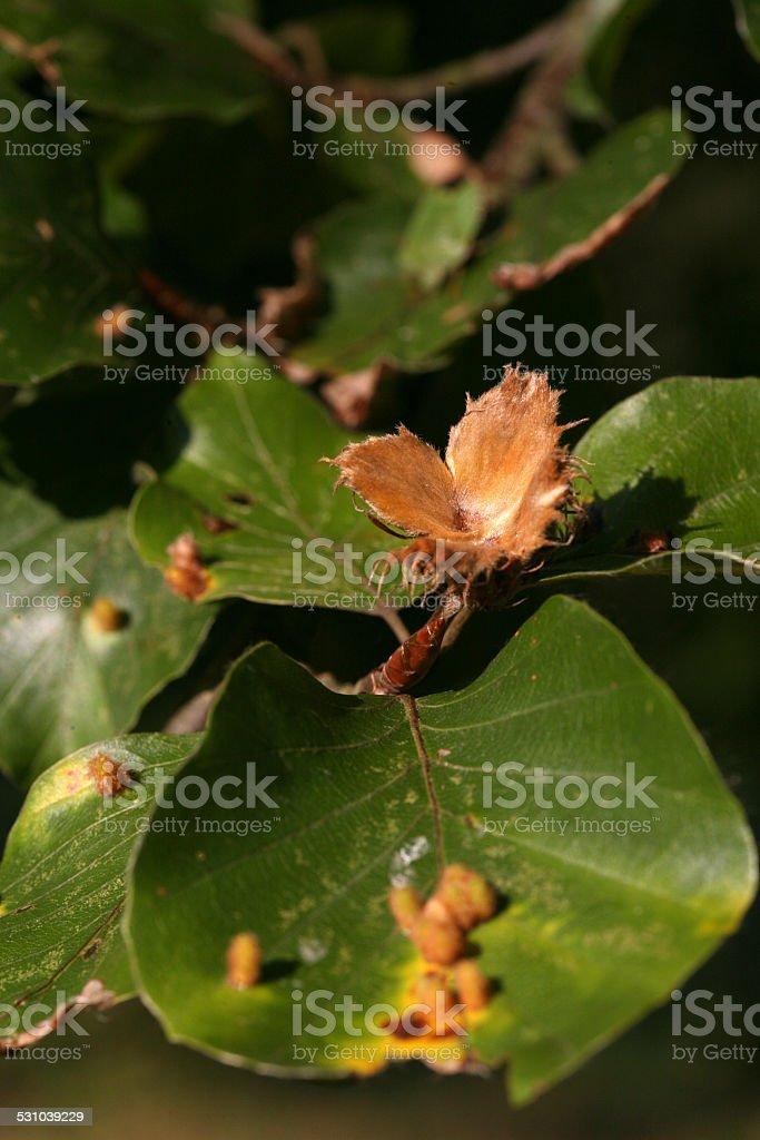 Beechnuts stock photo