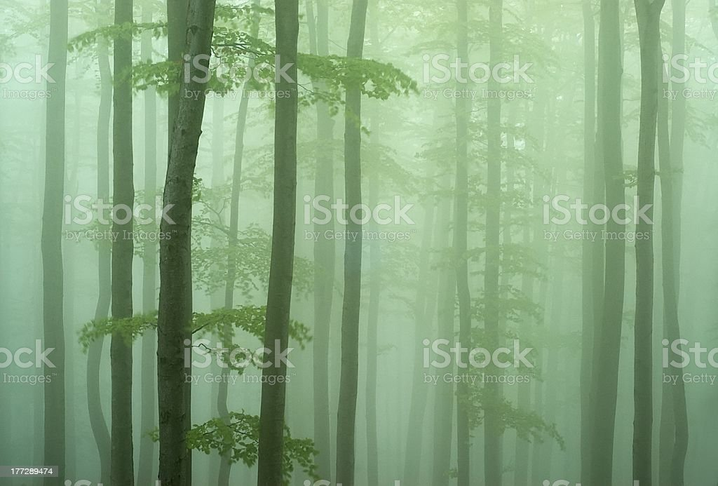 Beechwood royalty-free stock photo