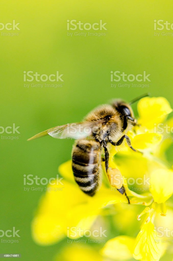 Bee,close-up. stock photo
