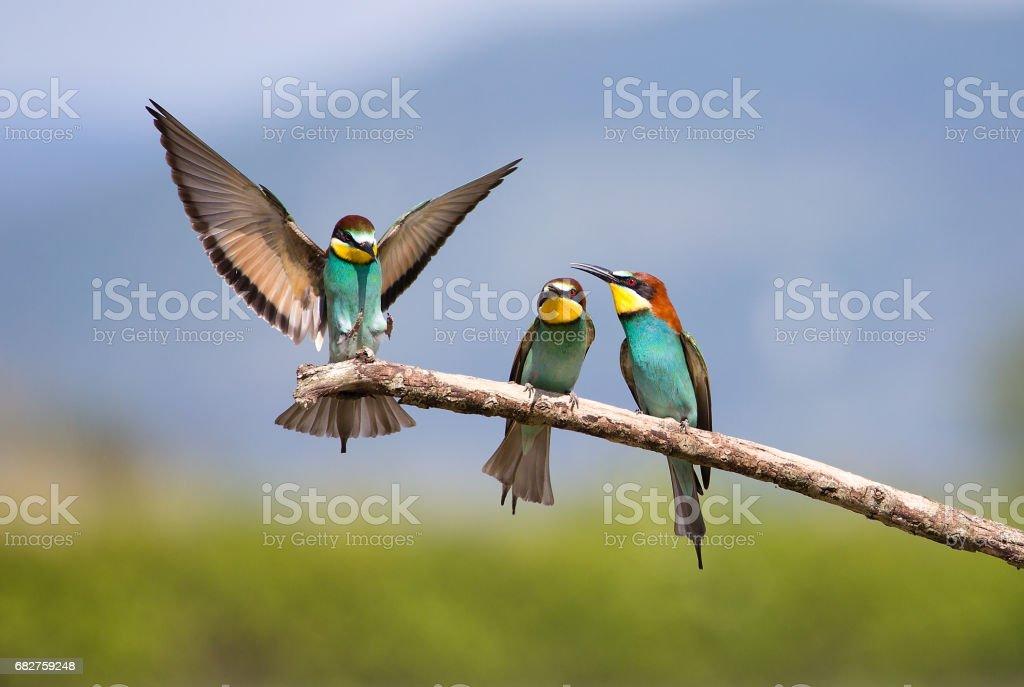 Bijeneter (Merops apiaster) - mannelijke vogel strijd voor vrouwelijke foto