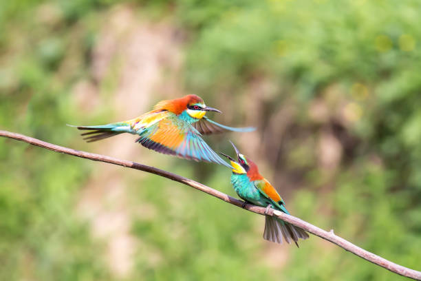 Bee-eater (Merops apiaster) fight stock photo