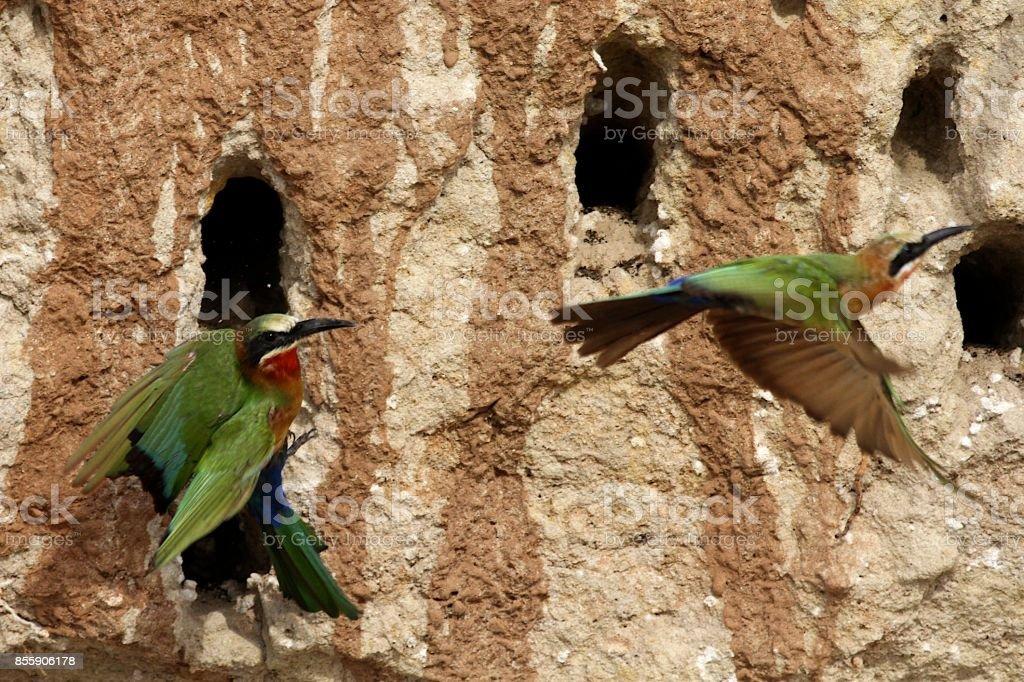 Bee-eaters at Rufiji River bank, Tanzania stock photo