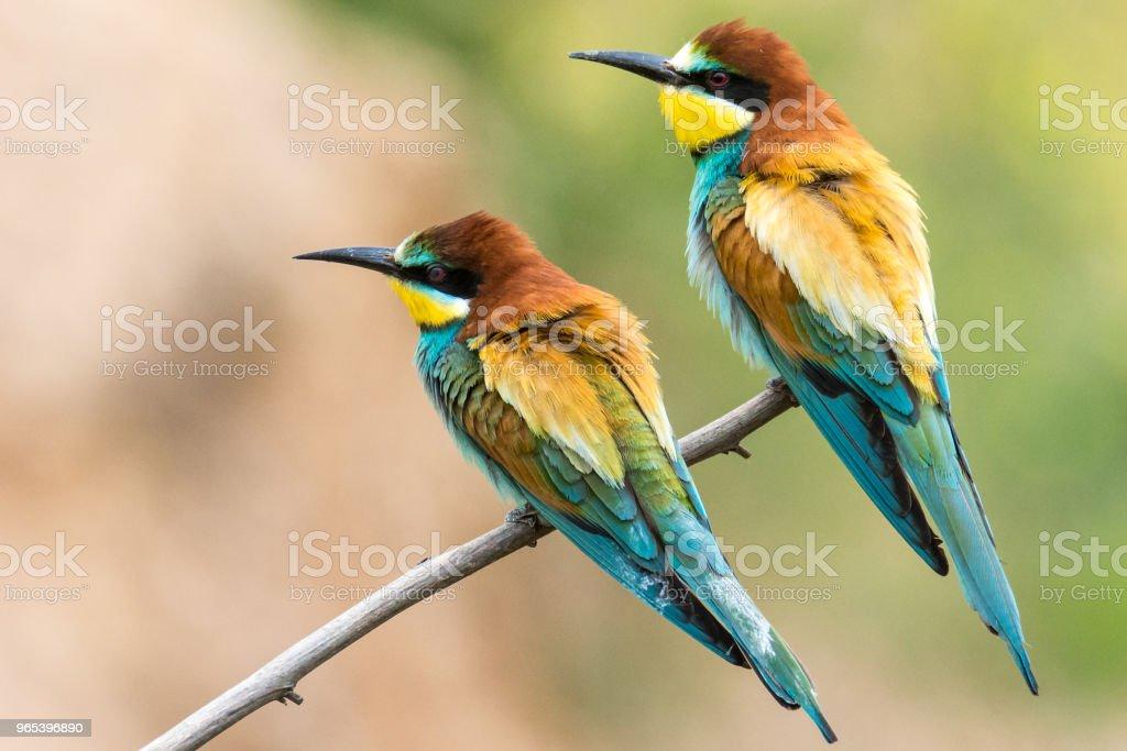 bee-eaters, Merops apiaster, siting on a branch zbiór zdjęć royalty-free