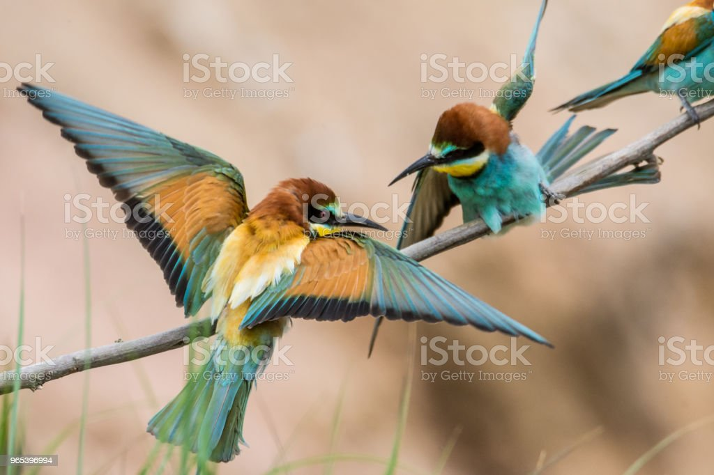 guêpiers, Merops apiaster, implantation sur une branche - Photo de Accouplement animal libre de droits