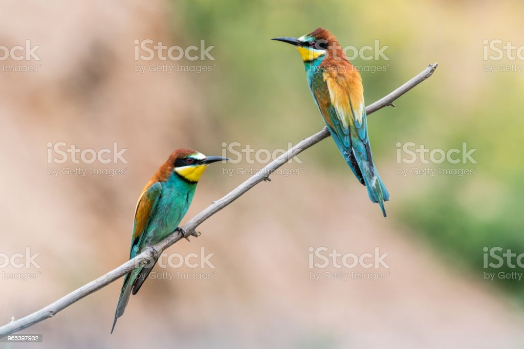 bee-eaters, Merops apiaster, siting on a branch zbiór zdjęć royalty-free