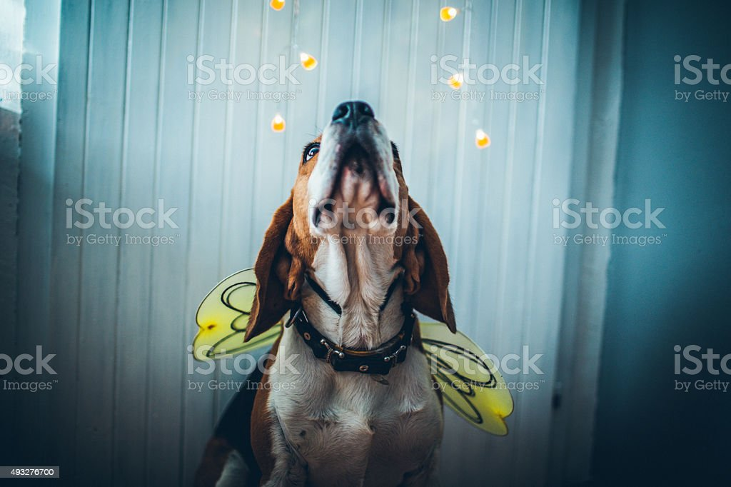 Beeeegle Hund – Foto