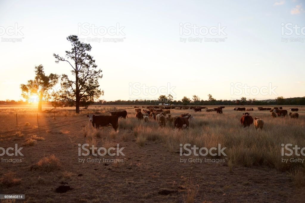 Beef cattle at sunset stock photo