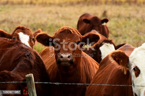 An image of young beef cattle standing near a barbed wire fence.