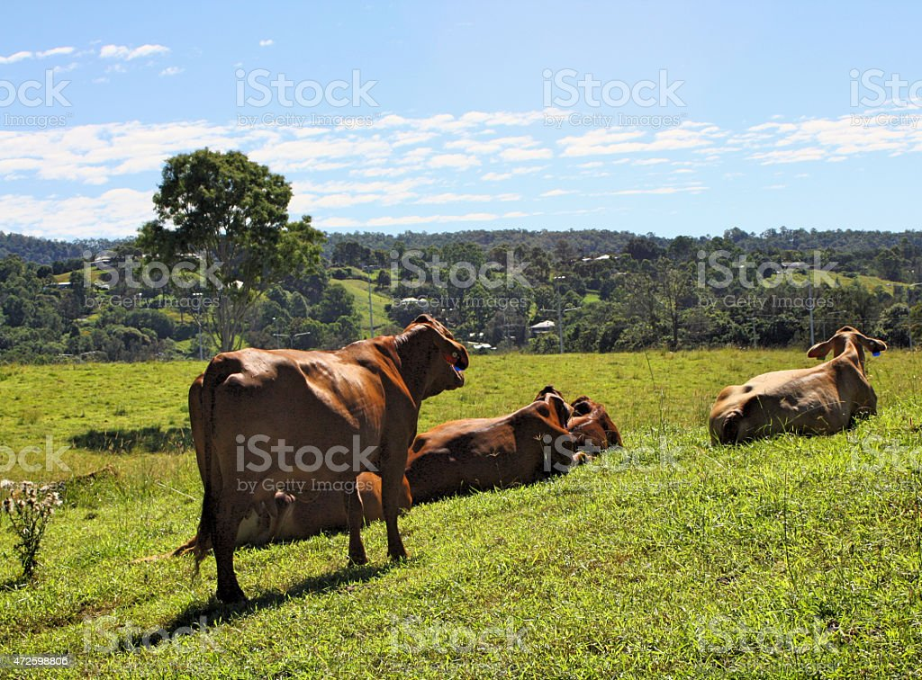 Beef Cattle (Droughtmaster) Enjoying the Green Grass and Rolling Hills stock photo